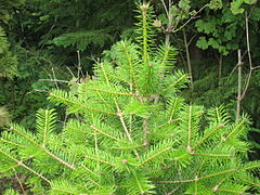 https://upload.wikimedia.org/wikipedia/commons/thumb/9/9a/Abies_holophylla.jpg/240px-Abies_holophylla.jpg